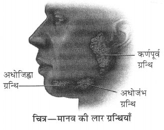 RBSE Solutions for Class 10 Science Chapter 2 मानव तंत्र image - 1