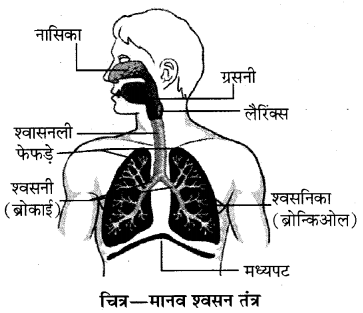 RBSE Solutions for Class 10 Science Chapter 2 मानव तंत्र image - 12