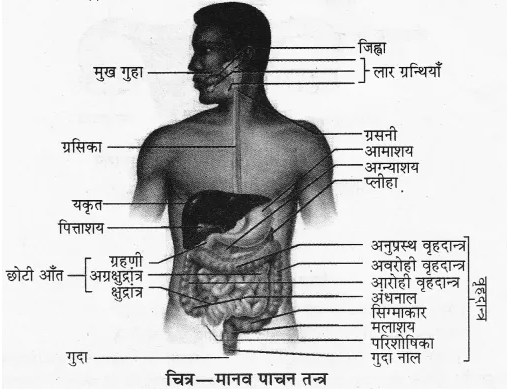 RBSE Solutions for Class 10 Science Chapter 2 मानव तंत्र image - 14