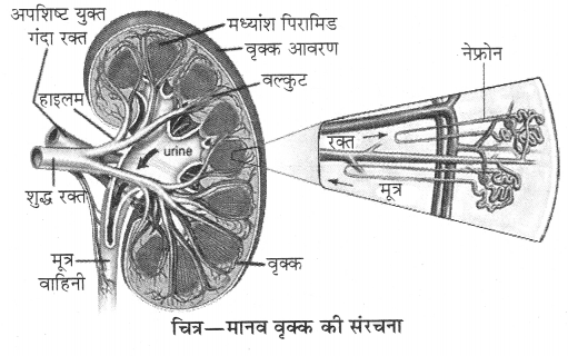 RBSE Solutions for Class 10 Science Chapter 2 मानव तंत्र image - 2