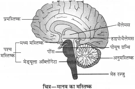 RBSE Solutions for Class 10 Science Chapter 2 मानव तंत्र image - 28