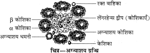 RBSE Solutions for Class 10 Science Chapter 2 मानव तंत्र image - 29