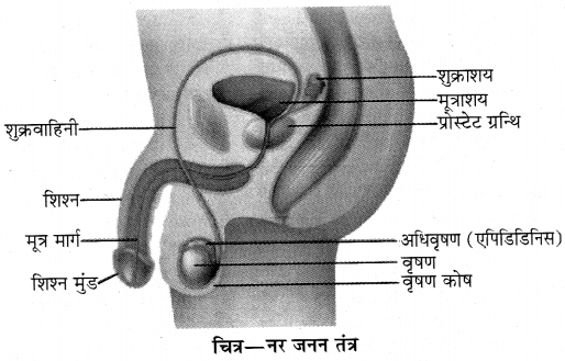 RBSE Solutions for Class 10 Science Chapter 2 मानव तंत्र image - 3
