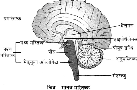 RBSE Solutions for Class 10 Science Chapter 2 मानव तंत्र image - 30