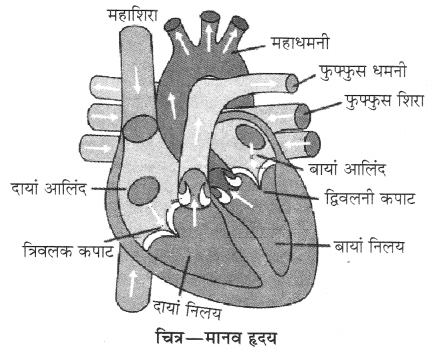 RBSE Solutions for Class 10 Science Chapter 2 मानव तंत्र image - 9