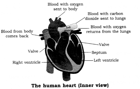 RBSE Solutions for Class 8 Science Chapter 7 Blood Circulation 2