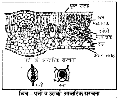 RBSE Solutions for Class 6 Science Chapter 2 पादपों में पोषण 4