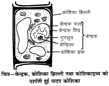 RBSE Solutions for Class 6 Science Chapter 7 कोशिका 1