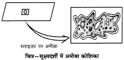 RBSE Solutions for Class 6 Science Chapter 7 कोशिका 3