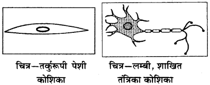RBSE Solutions for Class 6 Science Chapter 7 कोशिका 5