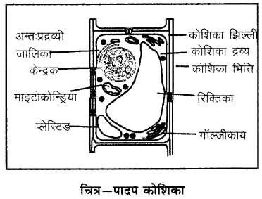 RBSE Solutions for Class 6 Science Chapter 7 कोशिका 6