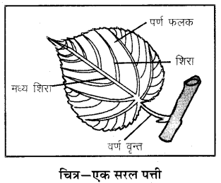 RBSE Solutions for Class 6 Science Chapter 9 पौधों के प्रकार एवं भाग 1