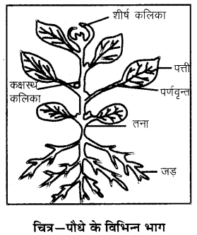 RBSE Solutions for Class 6 Science Chapter 9 पौधों के प्रकार एवं भाग 2