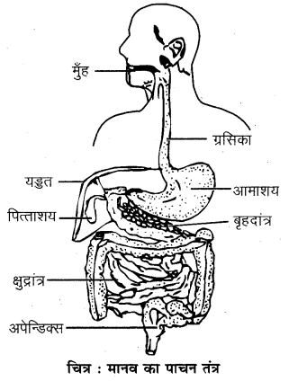 RBSE Solutions for Class 7 Science Chapter 2 प्राणियों में पोषण 2