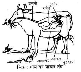 RBSE Solutions for Class 7 Science Chapter 2 प्राणियों में पोषण 6