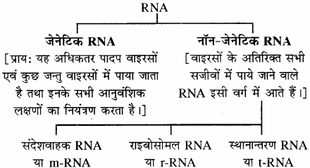RBSE Solutions for Class 11 Biology Chapter 12 आण्विक जीवविज्ञान img-13