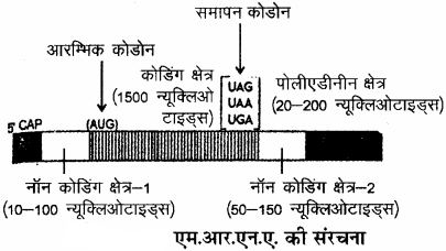 RBSE Solutions for Class 11 Biology Chapter 12 आण्विक जीवविज्ञान img-14