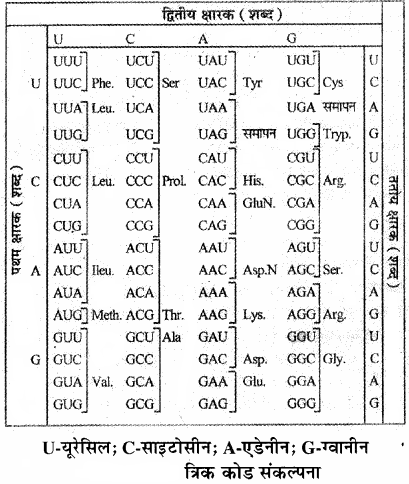 RBSE Solutions for Class 11 Biology Chapter 12 आण्विक जीवविज्ञान img-17