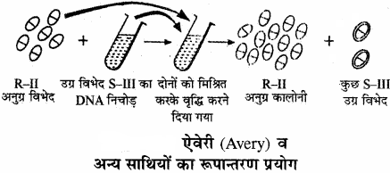 RBSE Solutions for Class 11 Biology Chapter 12 आण्विक जीवविज्ञान img-5
