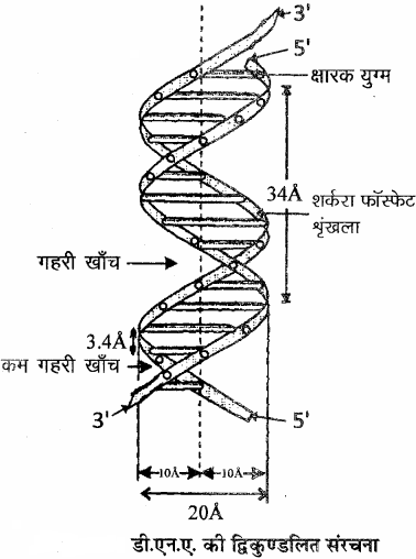 RBSE Solutions for Class 11 Biology Chapter 12 आण्विक जीवविज्ञान img-7