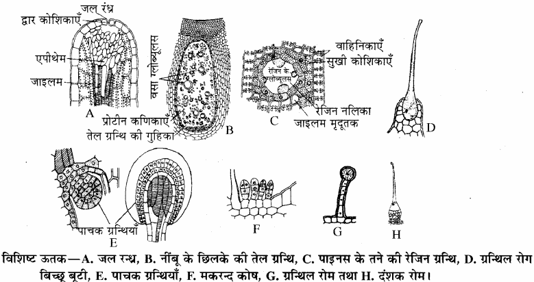 RBSE Solutions for Class 11Chapter 13 पादप ऊतक: आंतरिक आकारिकी img-13