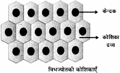 RBSE Solutions for Class 11Chapter 13 पादप ऊतक: आंतरिक आकारिकी img-8