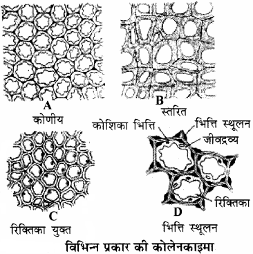 RBSE Solutions for Class 11Chapter 13 पादप ऊतक: आंतरिक आकारिकी img-9
