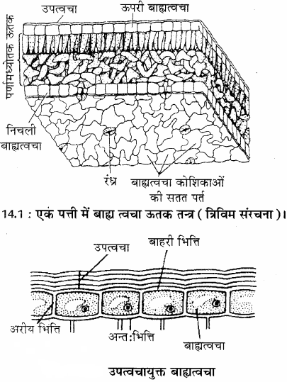 RBSE Solutions for Class 11 Biology Chapter 14 पादप ऊतक तंत्र