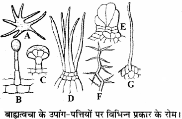 RBSE Solutions for Class 11 Biology Chapter 14 पादप ऊतक तंत्र img-3