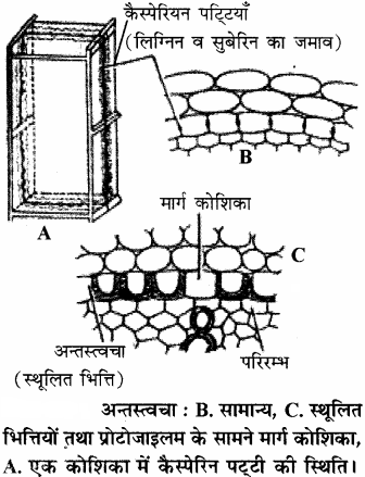 RBSE Solutions for Class 11 Biology Chapter 14 पादप ऊतक तंत्र img-4