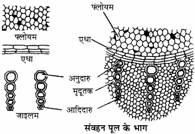 RBSE Solutions for Class 11 Biology Chapter 14 पादप ऊतक तंत्र img-5