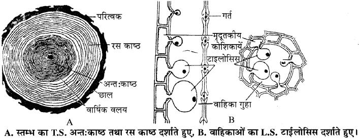 RBSE Solutions for Class 11 Biology Chapter 16 तने व जड़ में सामान्य द्वितीयक वृद्धि img-3