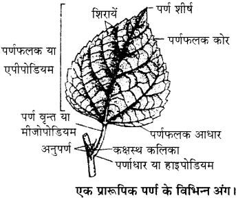 RBSE Solutions for Class 11 Biology Chapter 19 पर्ण-बाह्य आकारिकी