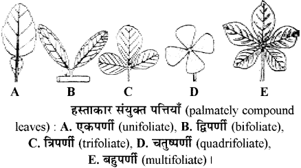 RBSE Solutions for Class 11 Biology Chapter 19 पर्ण-बाह्य आकारिकी img-5