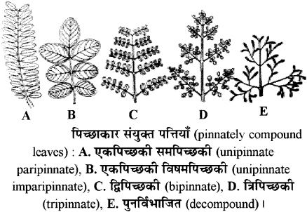 RBSE Solutions for Class 11 Biology Chapter 19 पर्ण-बाह्य आकारिकी img-6