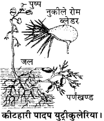RBSE Solutions for Class 11 Biology Chapter 19 पर्ण-बाह्य आकारिकी img-8