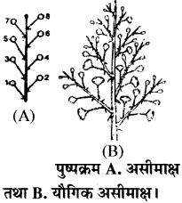 RBSE Solutions for Class 11 Biology Chapter 20 पुष्पक्रम