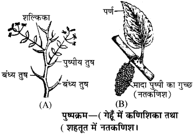 RBSE Solutions for Class 11 Biology Chapter 20 पुष्पक्रम img-2