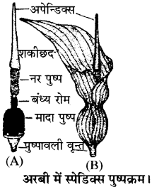 RBSE Solutions for Class 11 Biology Chapter 20 पुष्पक्रम img-3
