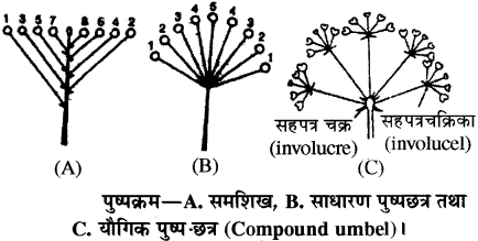 RBSE Solutions for Class 11 Biology Chapter 20 पुष्पक्रम img-4