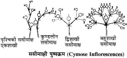 RBSE Solutions for Class 11 Biology Chapter 20 पुष्पक्रम img-6