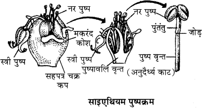 RBSE Solutions for Class 11 Biology Chapter 20 पुष्पक्रम img-7