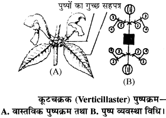 RBSE Solutions for Class 11 Biology Chapter 20 पुष्पक्रम img-8