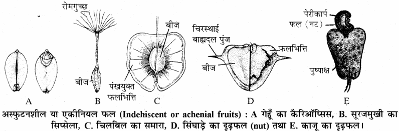 RBSE Solutions for Class 11 Biology Chapter 22 फल तथा बीज img-11