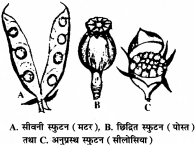 RBSE Solutions for Class 11 Biology Chapter 22 फल तथा बीज img-12