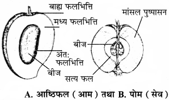 RBSE Solutions for Class 11 Biology Chapter 22 फल तथा बीज img-14