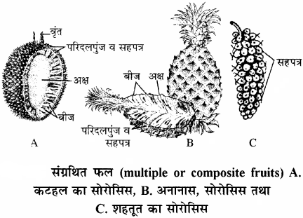 RBSE Solutions for Class 11 Biology Chapter 22 फल तथा बीज img-19
