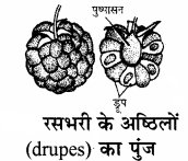 RBSE Solutions for Class 11 Biology Chapter 22 फल तथा बीज img-2