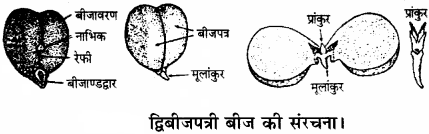 RBSE Solutions for Class 11 Biology Chapter 22 फल तथा बीज img-3