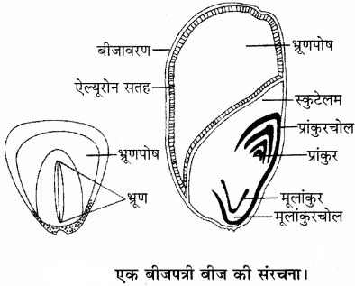 RBSE Solutions for Class 11 Biology Chapter 22 फल तथा बीज img-4